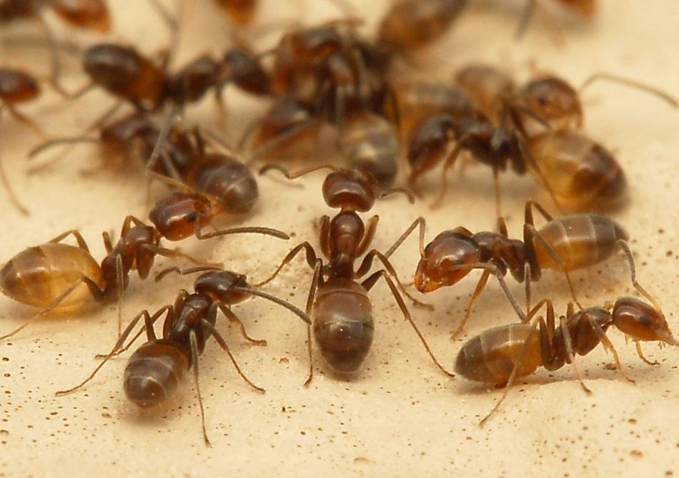 Народные рецепты против садовых муравьев с горчицей