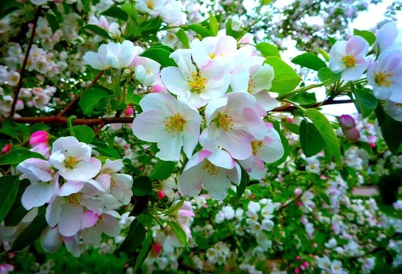 Что предвещает явблоневый цвет в конце лета?