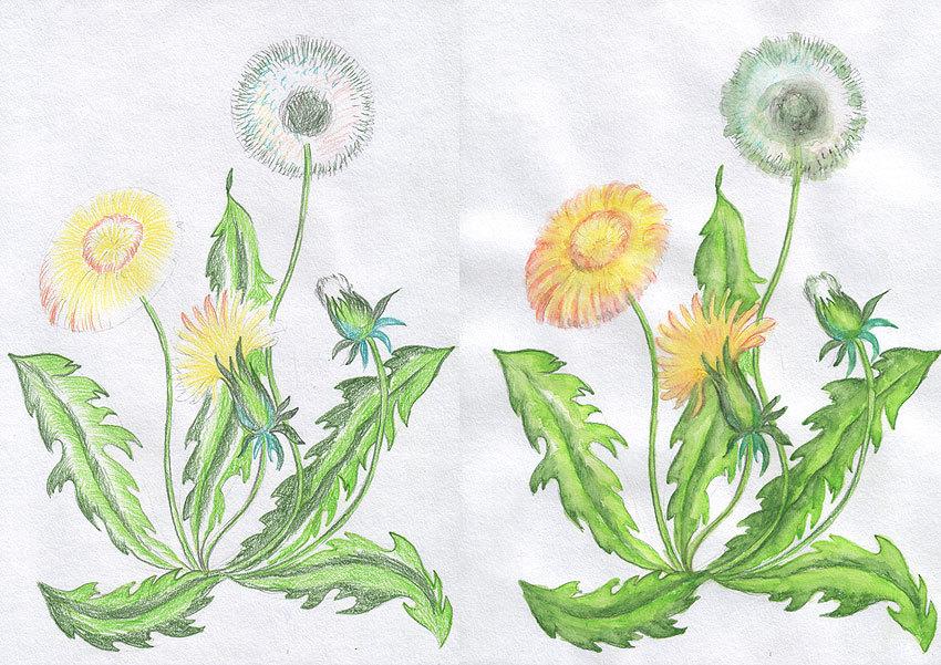 Картинки одуванчиков нарисованные