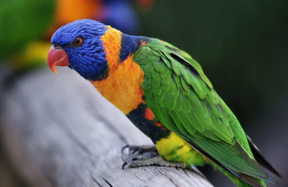 Попугай лори - общительный, но капризный