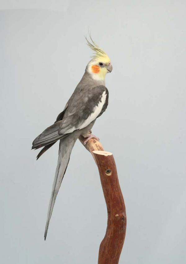 Если вы хотите завести мелодичную птичку, приобретайте кореллу