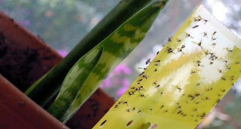 Как устранить мушек в цветочном грунте?