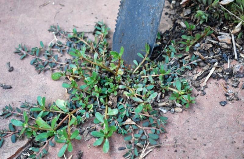 Самый простой способ - перекопать участок с сорняком