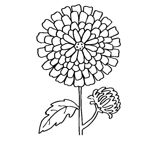 Как нарисовать хризантему: рисунок для срисовывания