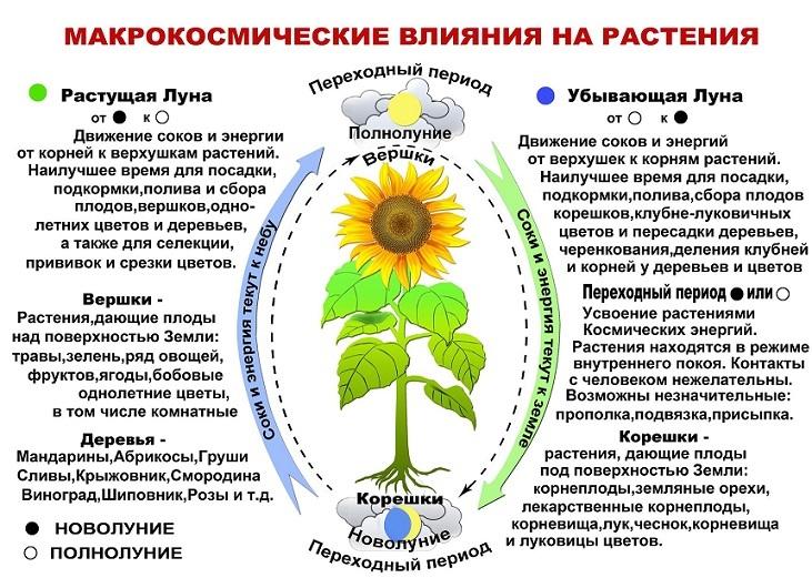 Схема влияния луны на сокодвижение растений