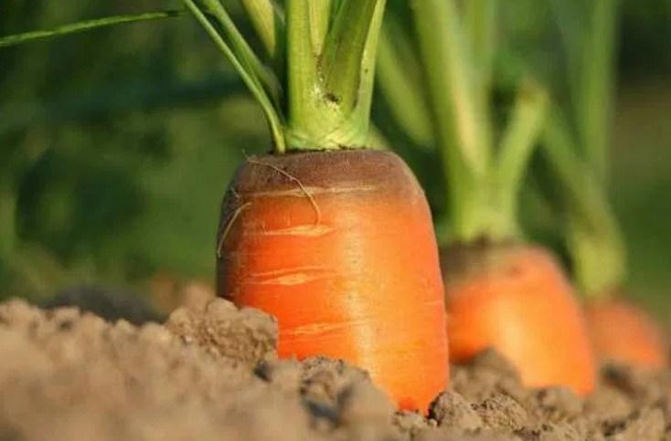Растет морковка