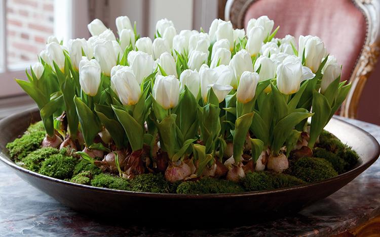vigonka-tyulpanov-k-8-marta Выращивание тюльпанов к 8 марта