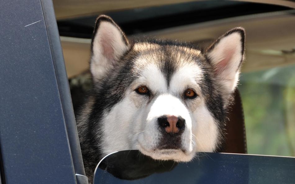 Приснилась собака в машине - ждите скорой встречи с другом