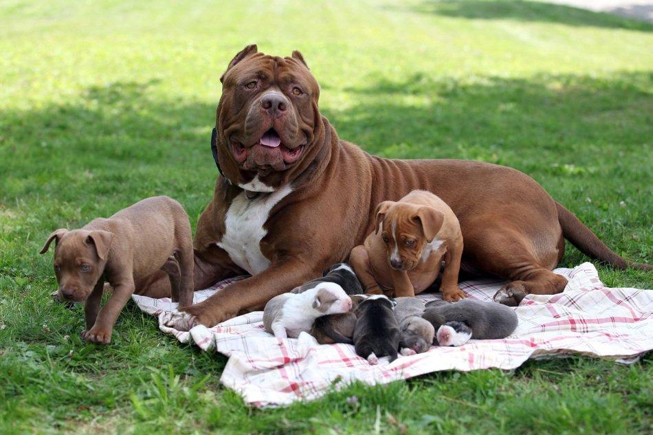Описание и стандарт породы собаки питбуль - размеры, вес, характер питбуля
