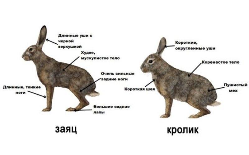 Заяц и кролик с обозначенными внешними отличиями