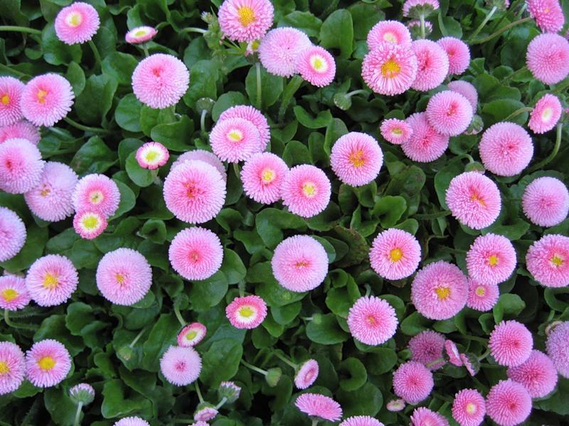 Помпонная розовая