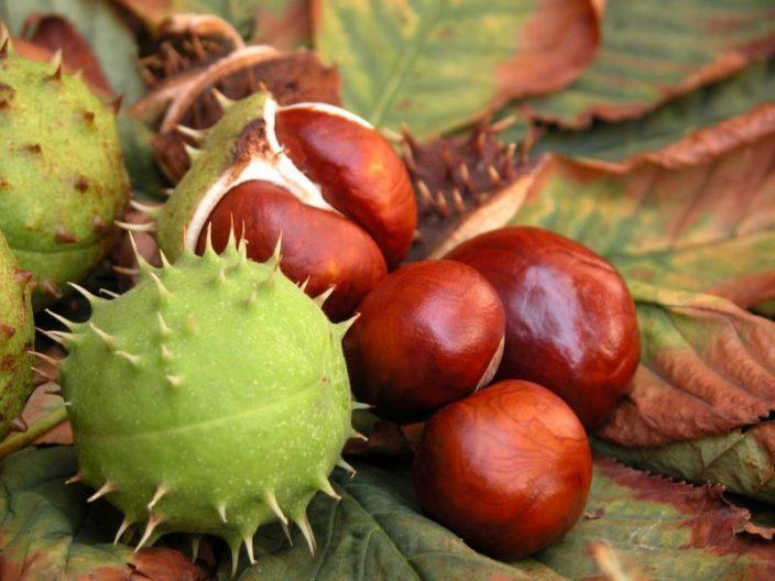 Плоды конского каштана для настойки для растирок от тромба