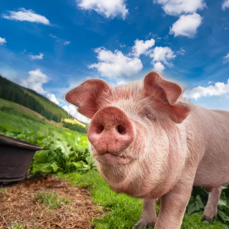 Сонник: видел свинью