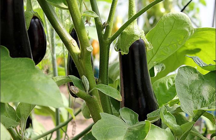Заговор перед посадкой сада, огорода на плодородие и хороший урожай баклажан подействовал