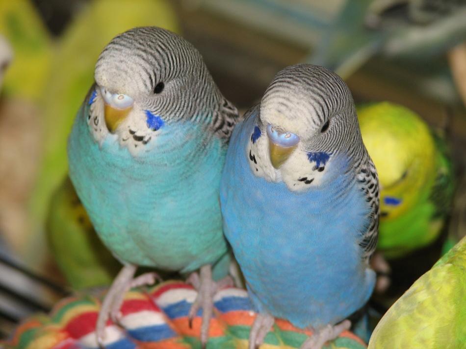 У волнистых попугаев-мальчиков восковица голубая или синяя