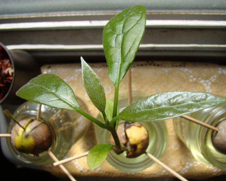 Росток косточки авокадо