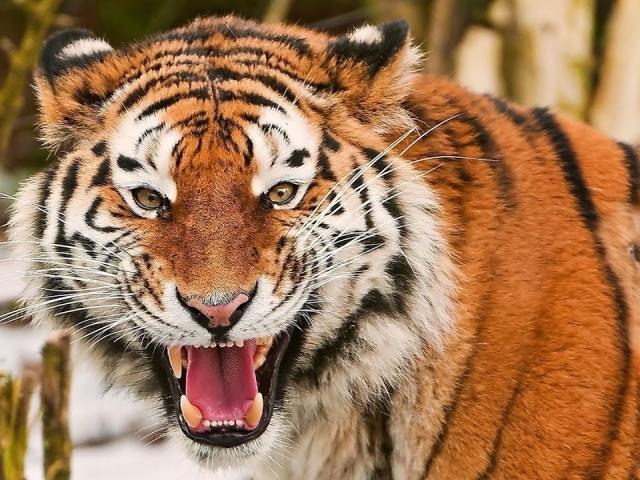 Сонник – видеть во сне тигра. К чему снится увидеть, убегать ...