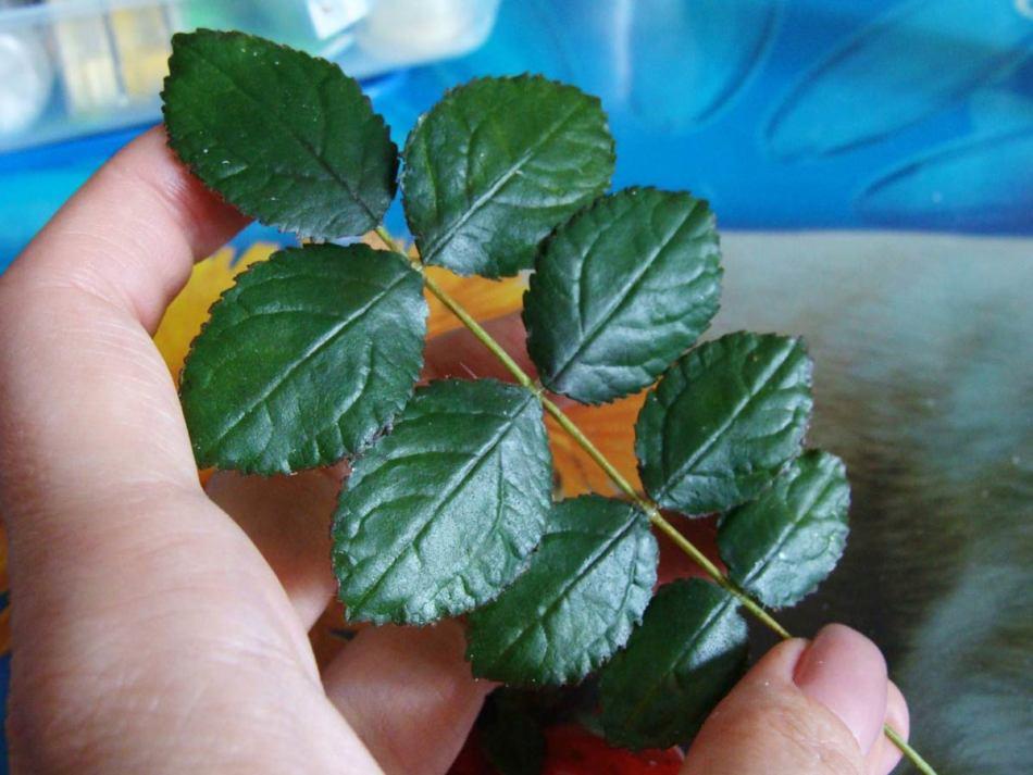 Листья шиповника применяют для приготовления кровеостанавливающих средств.