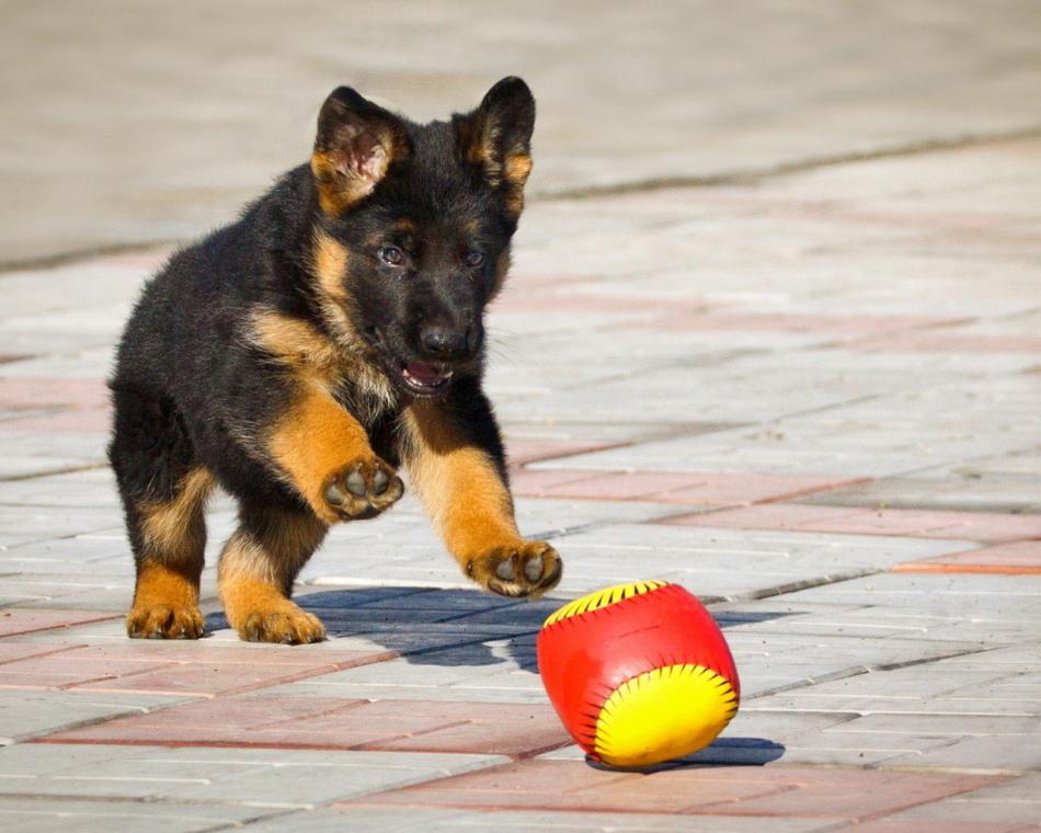 Здоровый щенок игривый и активный