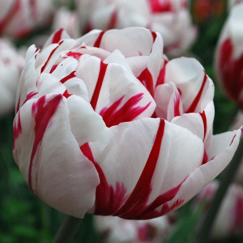 d661d9e0cd1bf9fe4bcff9ad359fb524 Выращивание тюльпанов к 8 марта