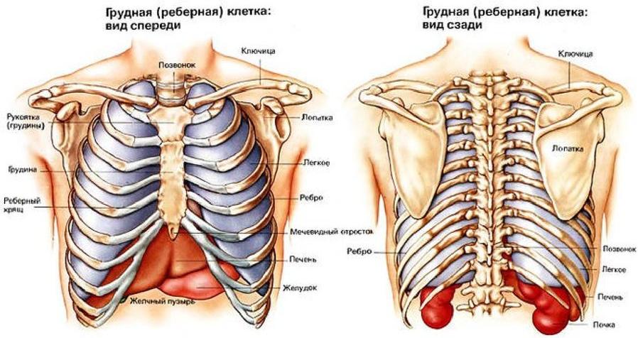 Изображение 2. строение грудной клетки (вид спереди и сзади).