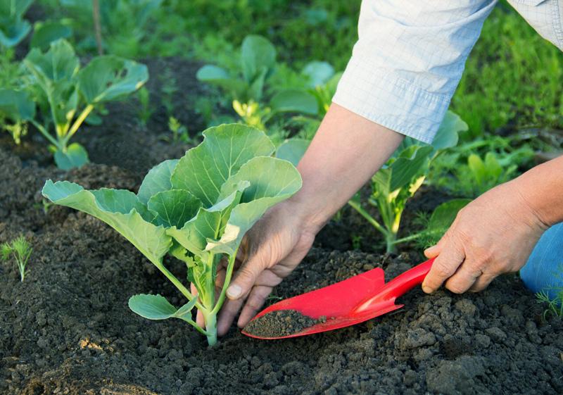 Как и чем обрабатывать рассаду капусты от вредителей и болезней?