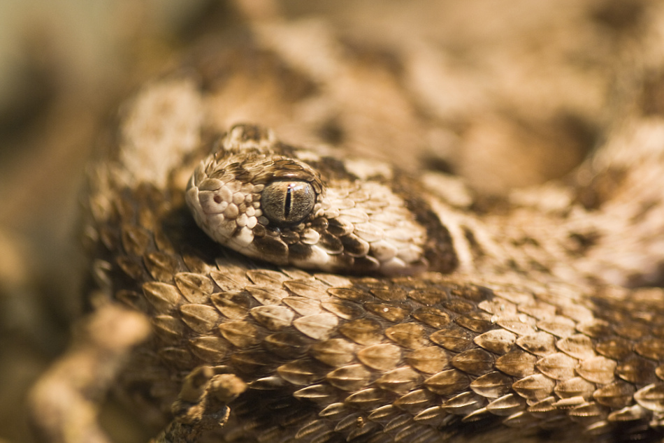 Песчаная эфа - змея, которая послужила причиной смерти многих людей