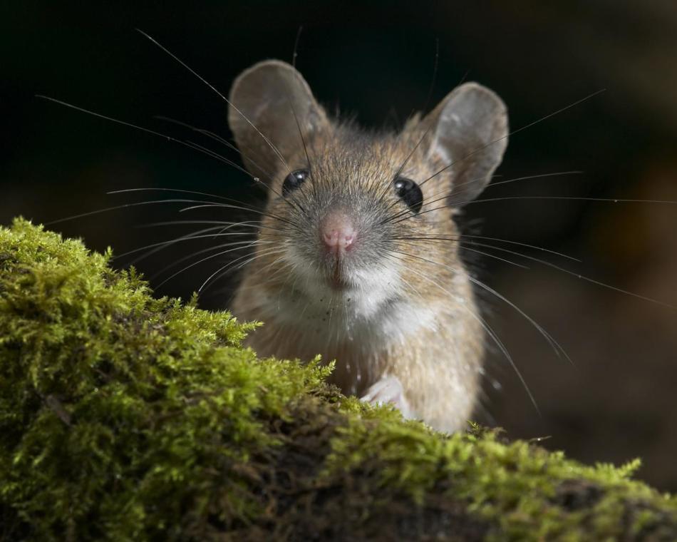 Мыши - переносчики разных заболеваний