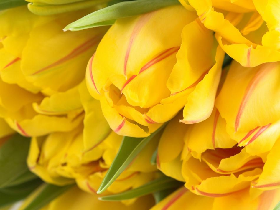 Желтые тюльпаны - приятные для глаза