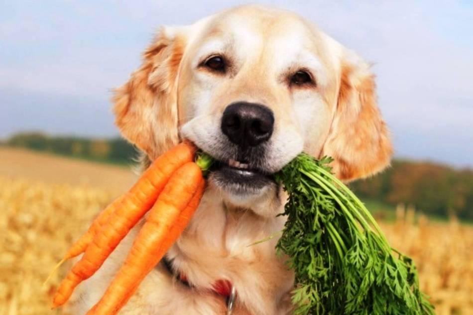 Чтобы у собаки выпрямились лапы необходимо обеспечить ей сбалансированное питание