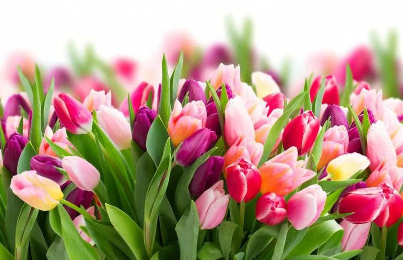 Характеристика тюльпанов