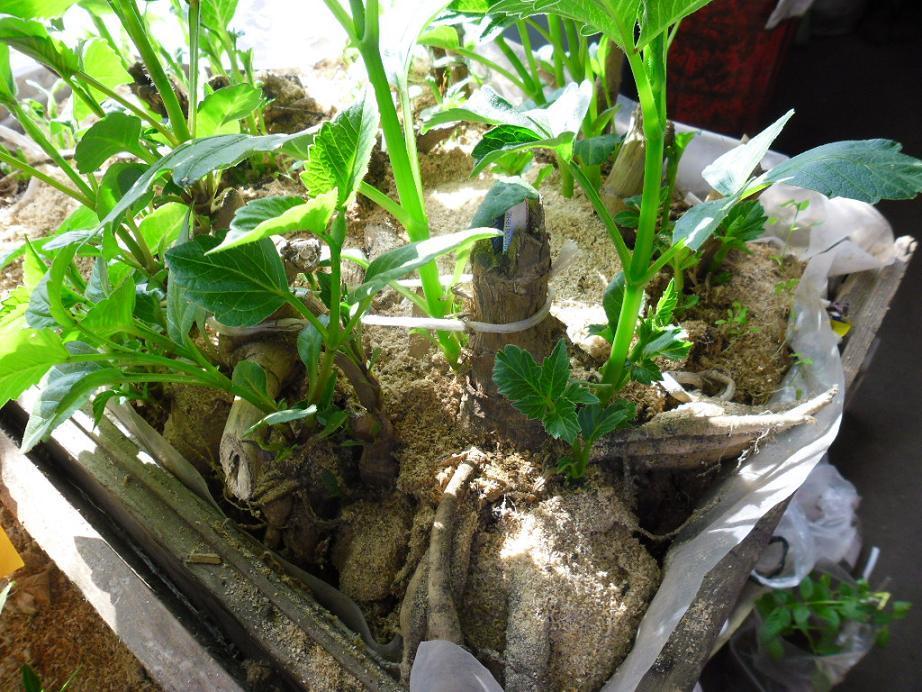 Проращивать георгины для посадки