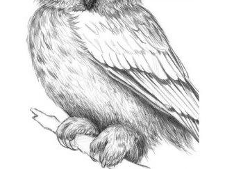 risuem-myagkie-puhovie-perya-na-grudi-i-lapah-sovi Как рисовать сову карандашом поэтапно для начинающих и детей? Как рисовать по клеточкам сову, красками?