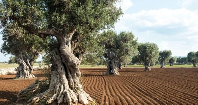 Оливковые рощи в апулии, италия