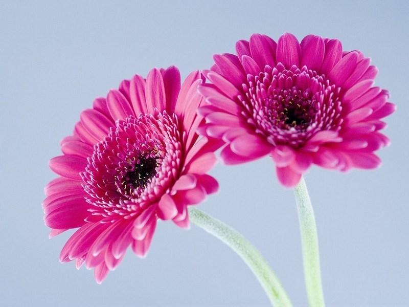 Нежные фиолетово-розовые герберы