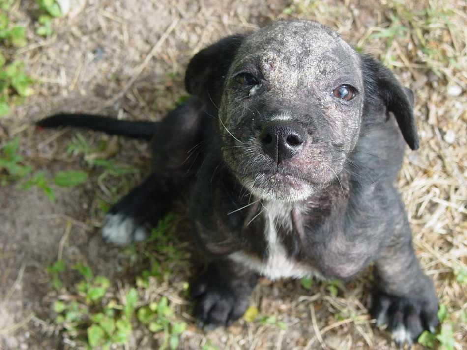 Ювенильный демодекоз у щенка