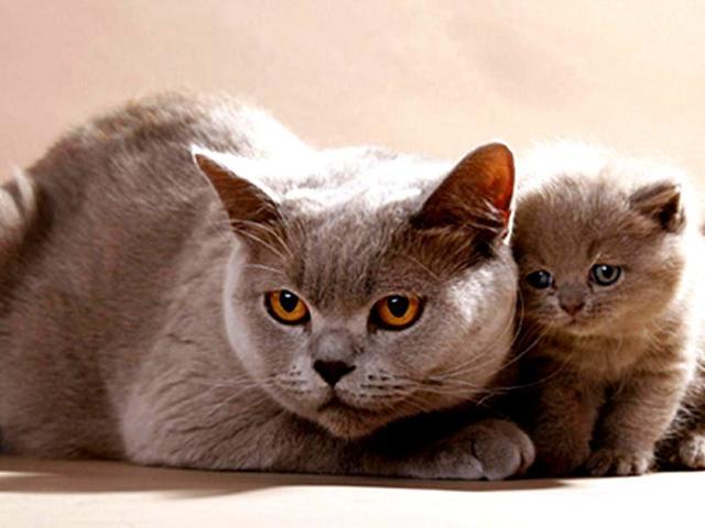 британские кошки и котята
