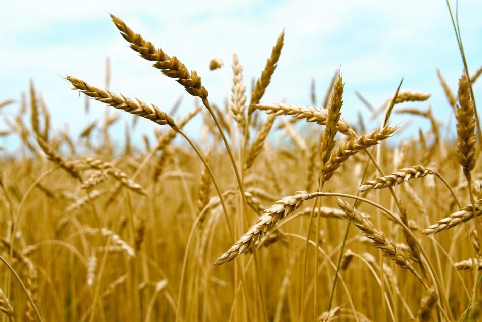 Отличия пшеницы от ржи