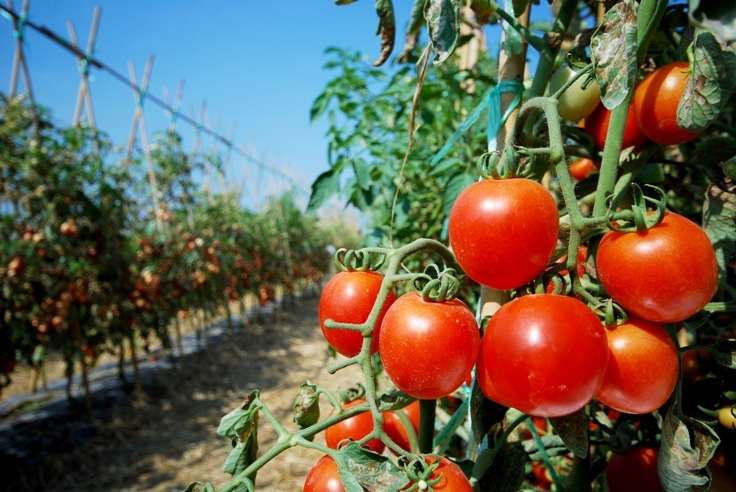 Заговор подействовал для хорошего урожая крупных помидоров