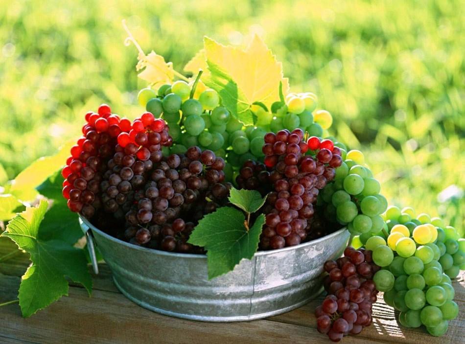 Свежесорванный виноград в тазу перед началом изготовления домашнего вина