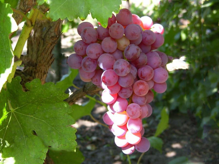 Такой виноград вреден для диабетиков
