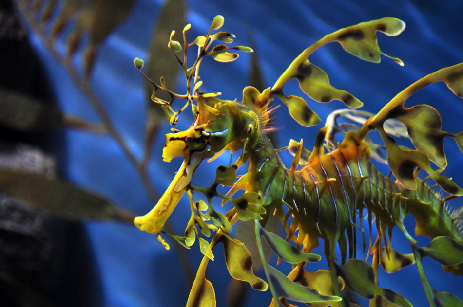 Морской дракон листовидный