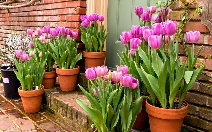 prazdnichnoe-cvetenie Выращивание тюльпанов к 8 марта
