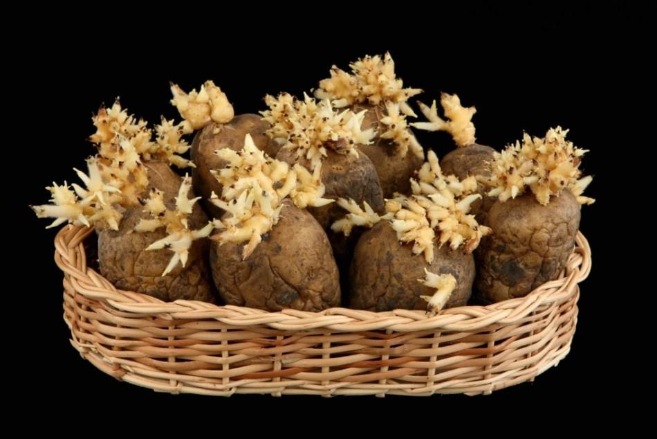 Ростки картошки в медицине