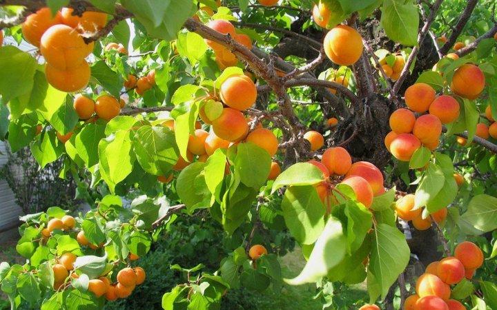 Плодоносящее дерево абрикоса, посаженное из косточки