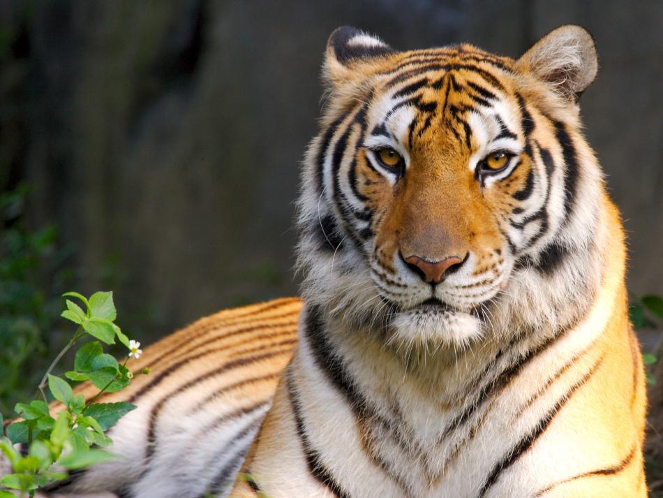Красивый тигр во сне - хороший знак.