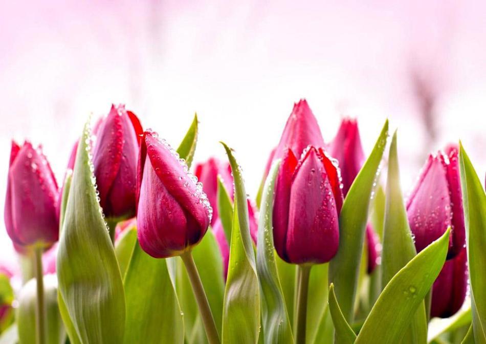Тюльпан обыкновенный