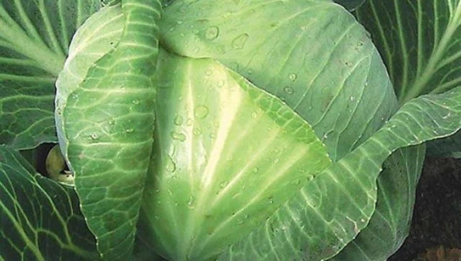 Здоровые листья капусты без слизней