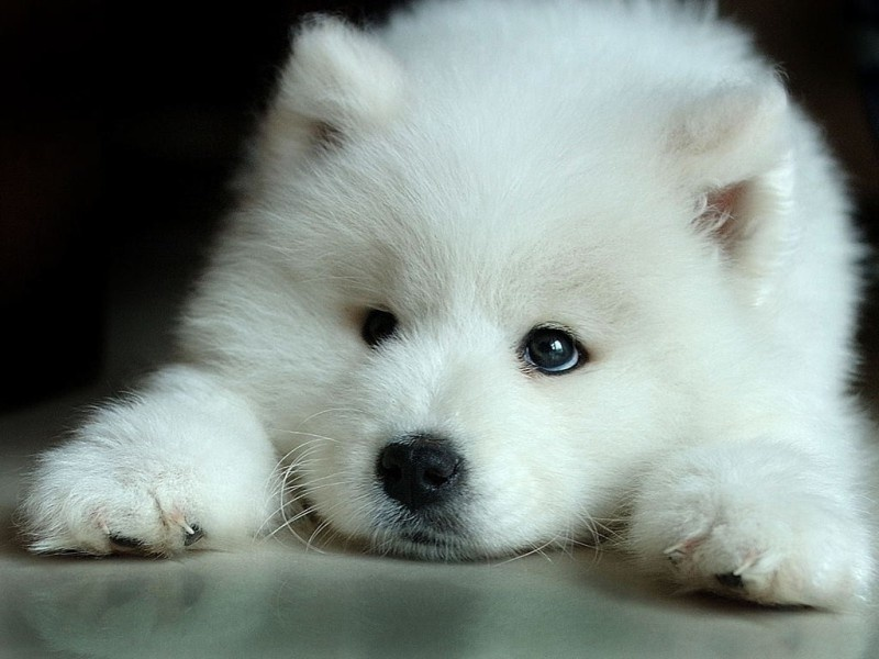 Самоедская собака лайка