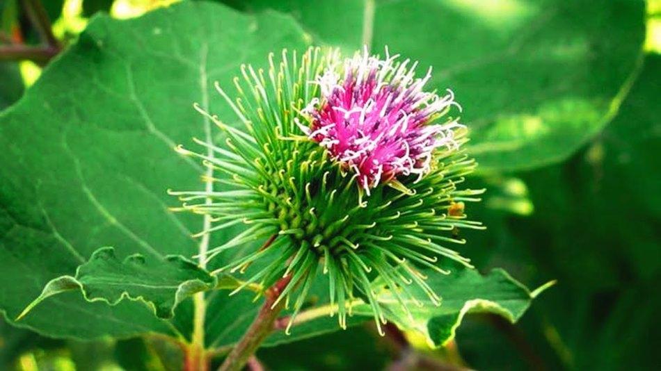Лопух - лечебная трава